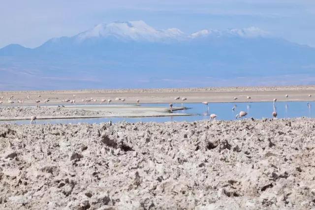 火烈鸟进食,智力阿塔卡玛盐湖
